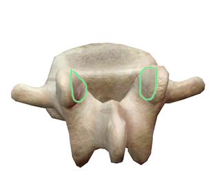 facetas superiores de la vértebra L2